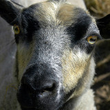Sheep's face (8275)