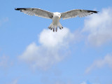 Hovering gull, Paignton (2970)