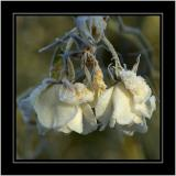 Frostbitten roses, near Martock, Somerset