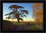Cedar tree, Pound Lane, Martock