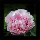 Crinkly pink rose at the white house, near Windermere, Cumbria