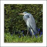 Young heron, Martock garden