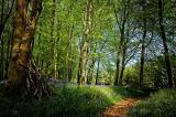 The bluebell walk, Hooke Park