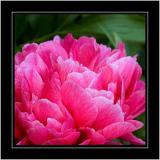 Deep pink peony, own garden, Martock