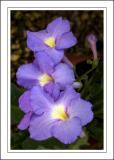 Pale purple flowers