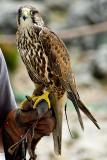 Saker falcon, Benalmadena