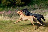 Dog race on Ham Hill