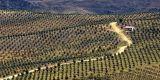 Olive trees, near Alora