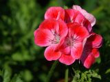 Pink geraniums, Lytes Cary Manor (3189)