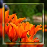 Orange tulips (2039)