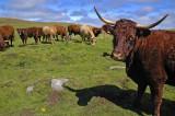 Cantal - Vache de Salers