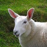 Ardnamurchan mouton lapin