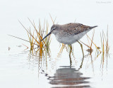 _NW80558 Stilt Sandpiper ~ Winter Plumage