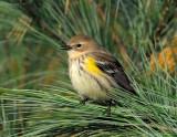 _NW80820 Yellow Rump Warbler
