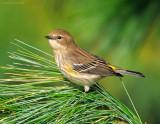 _NW80839 Yellow Rump Warbler