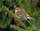 _NW81623 Yellow Rump Warbler