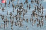 _NW82438 Mixed Flock in Flight