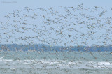 _NW82467 Mixed Flock in Flight