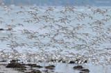 _NW82472 Mixed Flock in Flight