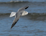 _NW82667 Laughing Gull Winter Plumage In Flight.jpg
