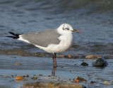 _NW82672 Laughing Gull Winter Plumage