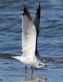 _NW82687 Laughing Gull Winter Plumage Wing Stretch