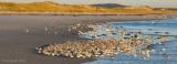 _NW81922 Mixed Shorebirds at Roost.jpg