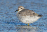 _NW83517 Red Knot.jpg