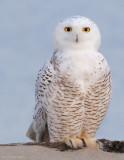 _NW83846 Snowy Owl.jpg