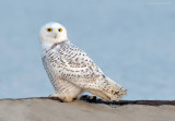 _NW83860 Snowy Owl.jpg