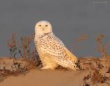 snowy_owls_11-9-08