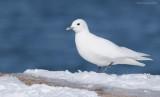 _NW98283 Ivory Gull