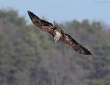_NW99021 Bald Eagle Juvenile.jpg