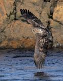 _NW99287 Bald Eagle Juvenile.jpg