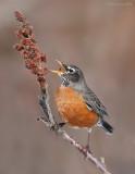 _NW90546 American Robin.jpg