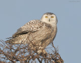 _NW91163 Snowy Owl on Snag.jpg