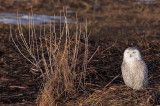 _NW91194 Snowy owl in marsh.jpg