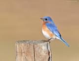 _NW91515_01 Eastern Bluebird