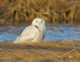 _NW91606 Snowy Owl In Marsh