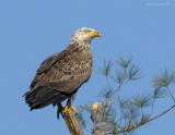 _NW92965 Juvenile Bald eagle Example Perched.jpg