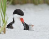 _NW90635 Black Skimmer Female and Chick.jpg