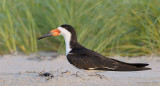 _NW98525 Black Skimmer Female at Dawn.jpg