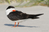 _NW98793 Black Skimmer Male at rest.jpg