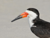 _NW98829 Black Skimmer Male Portrait.jpg
