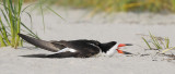 _NW99793 Black Skimmer In The Heat.jpg