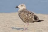 _NW90951 Possible Lesser Black Back Gull Juvenile.jpg