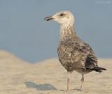 _NW90960 Possible Lesser Black Back Gull Juvenile.jpg