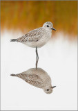 Black Belly Plover in Fall Marsh