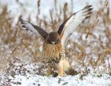 Red Tail Hawk in Snow