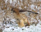 Ret Tail Hawk in Snow 2.jpg